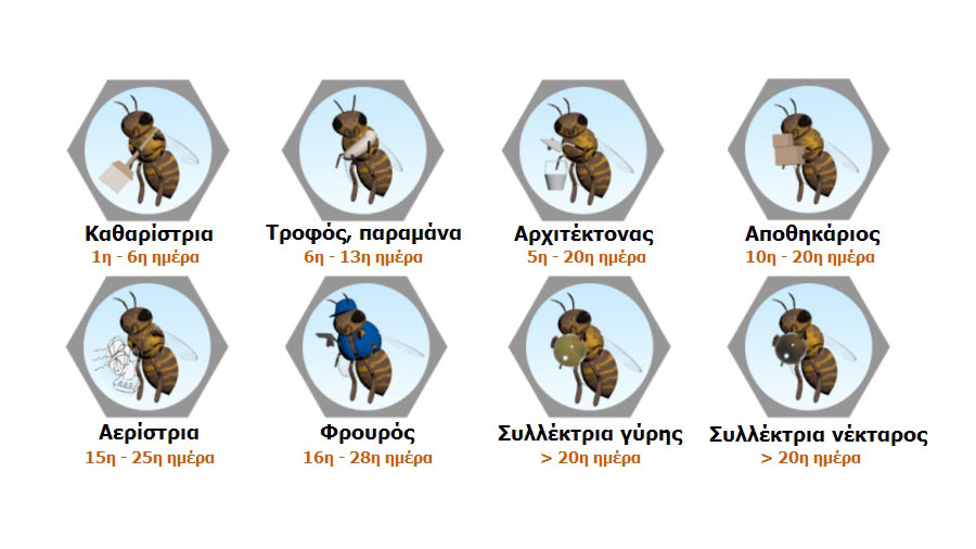 Ο κύκλος ζωής της μέλισσας